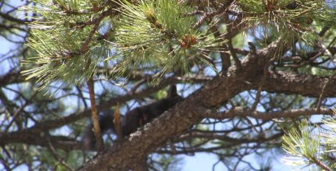 elusive Abert's squirrel