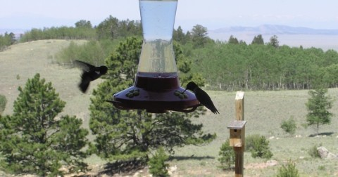 hummingbirds at wilkerson pass