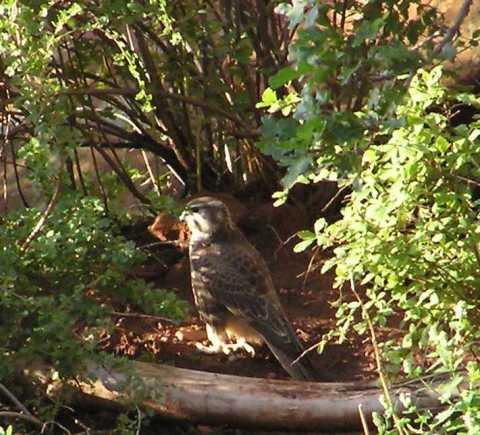 juvenile prairie falcon