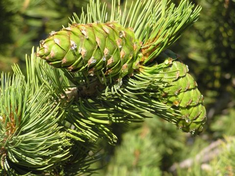 limber pine cone with pitch
