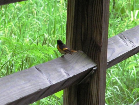 american redstart at taq falls