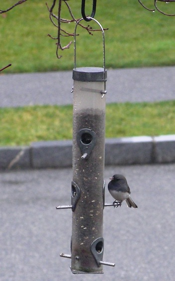 slate-colored (northern) junco