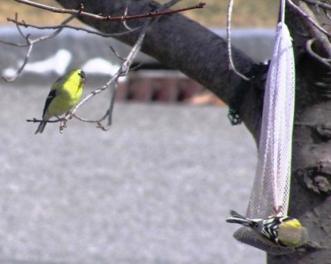 springgoldfinches