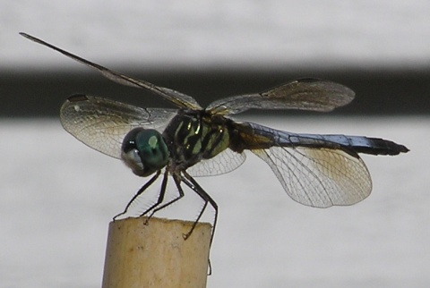 poised for takeoff  —  a blue-tailed dragonfly