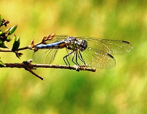 bluetailed dragonfly onlilac