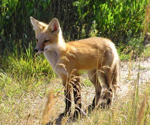 young fox in a shiny coat