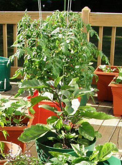 tomato eggplant on deck