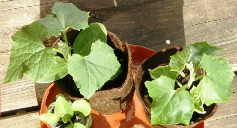 gourd seedlings