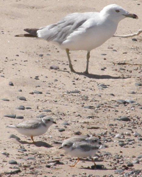 piping plovers and protector