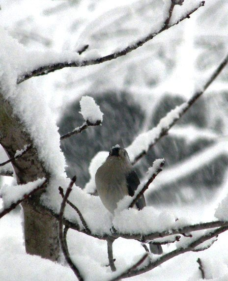 titmouse-in-snow2