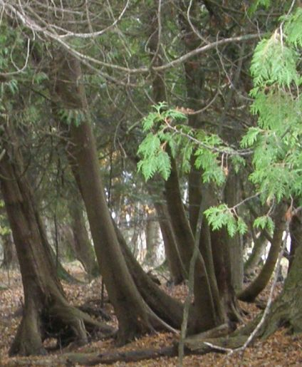 leaningtrees