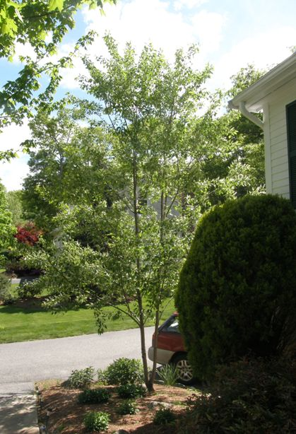 home-grown cherry tree