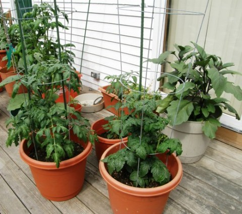cherry tomatoes and brinjals