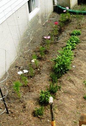 herb garden ~ cosmos behind