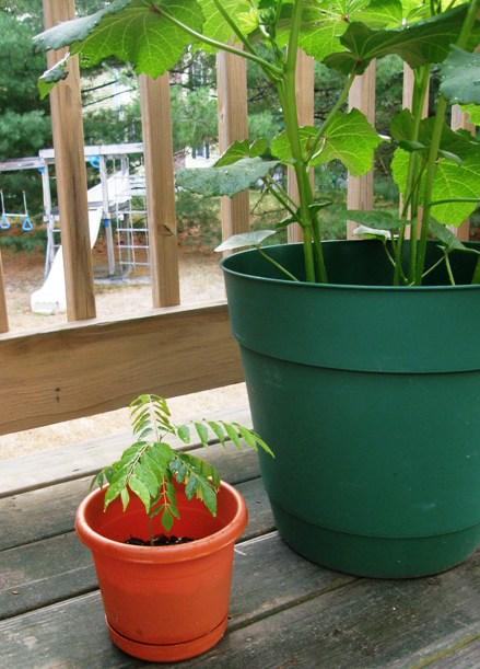bigger little curry leaf plant!