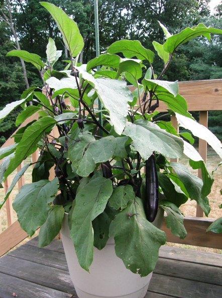 ichiban eggplant/brinjal