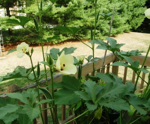 chanchal okra field on the deck!