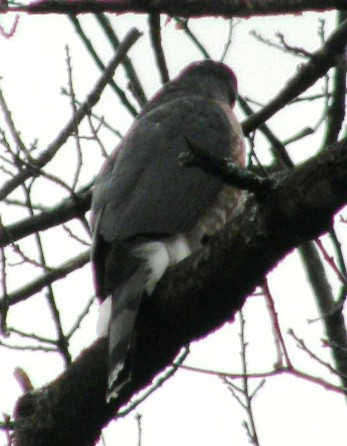 coopers hawk from the back