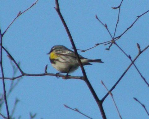 yellow rumped myrtle warbler