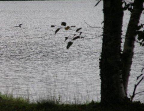 lone loon in the upper peninsula of michigan