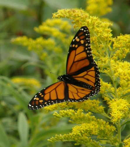 monarch on northern lake huron