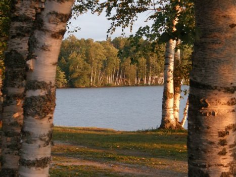 birch trees in late afternoon
