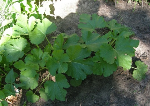 lebanese squash plants
