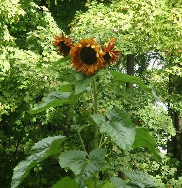 beanstalks grow on this huge sunflower...
