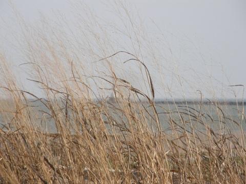 wild grass at conneaut