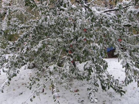 apple tree snowed under