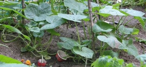 korean squash vines