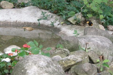 male redstart at the pond