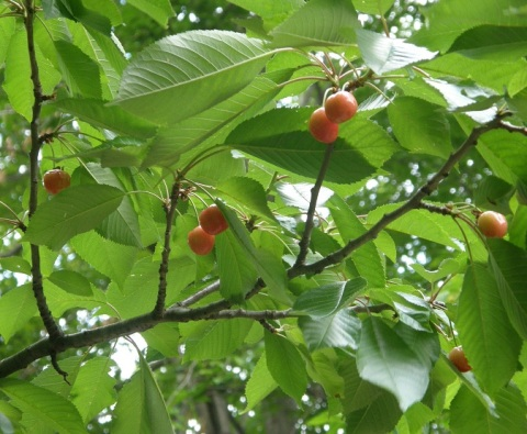 cherries in the yard