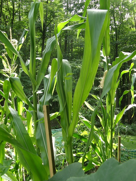 corn in silk and tassel