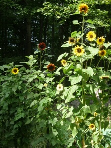 sunflowers reach for the sky