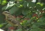 juvenile rose breasted grosbeak