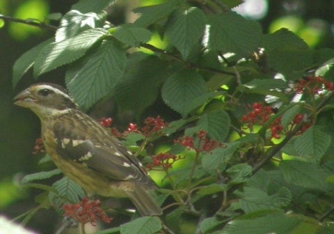 juvenile rose breasted grosbeak