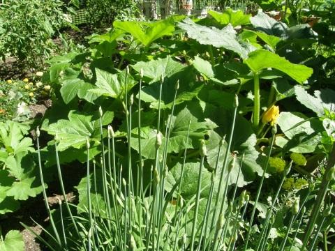 summer squash and garlic chives