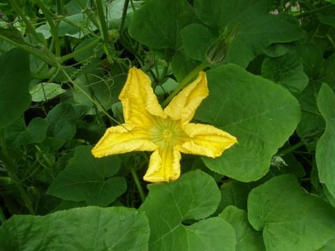 korean squash blossom