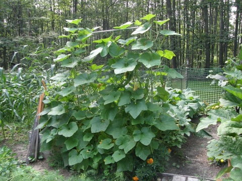 korean squash on trellis