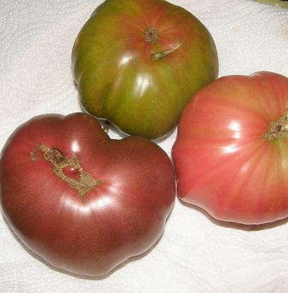 african queen tomatoes