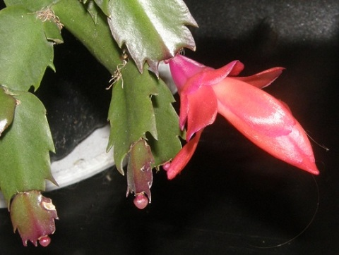 christmas cactus blossoming