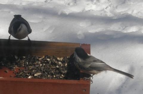 nuthatch and chickadee