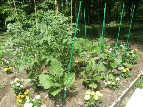 part of the back garden - tomatoes and eggplant