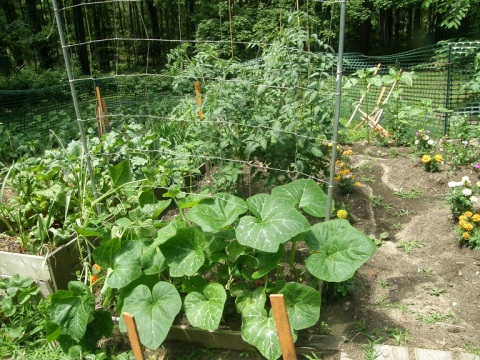 korean squash climbing the trellis